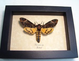 Death Head Moth styx Female
