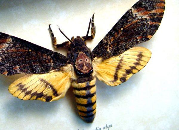 Acherontia styx female Death's Head Moth