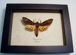 Death Head Moth Acherontia styx Male