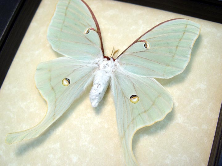 Actias Luna Female Luna Moth