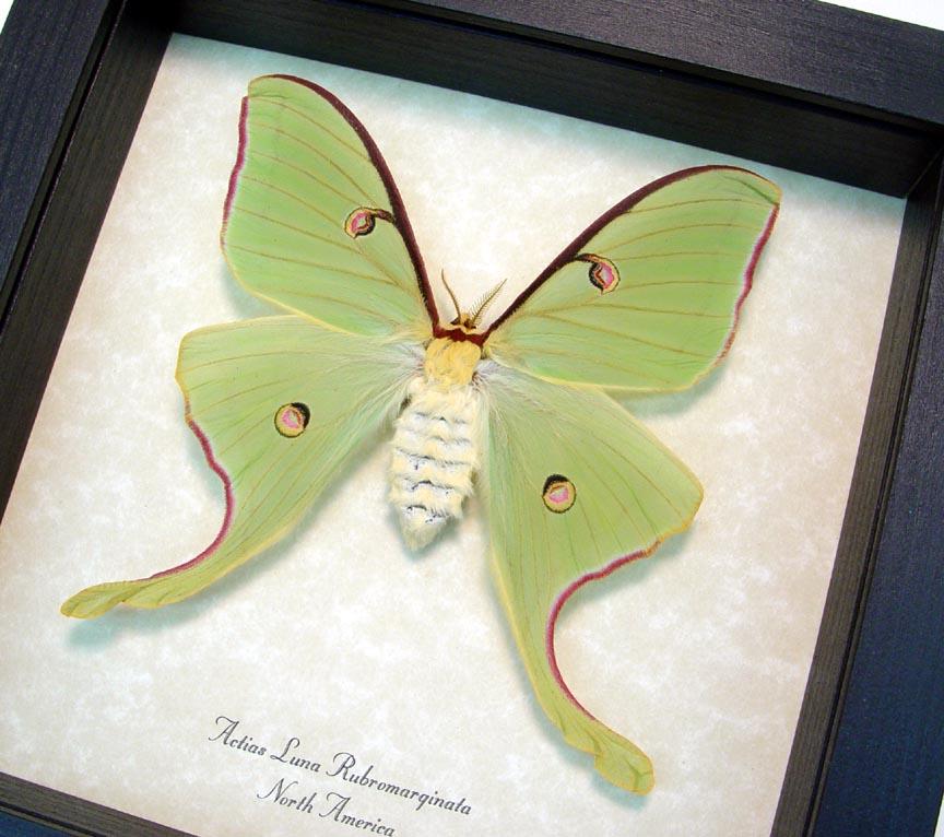 Actias luna rubromarginata Female Spring Form Luna Moth