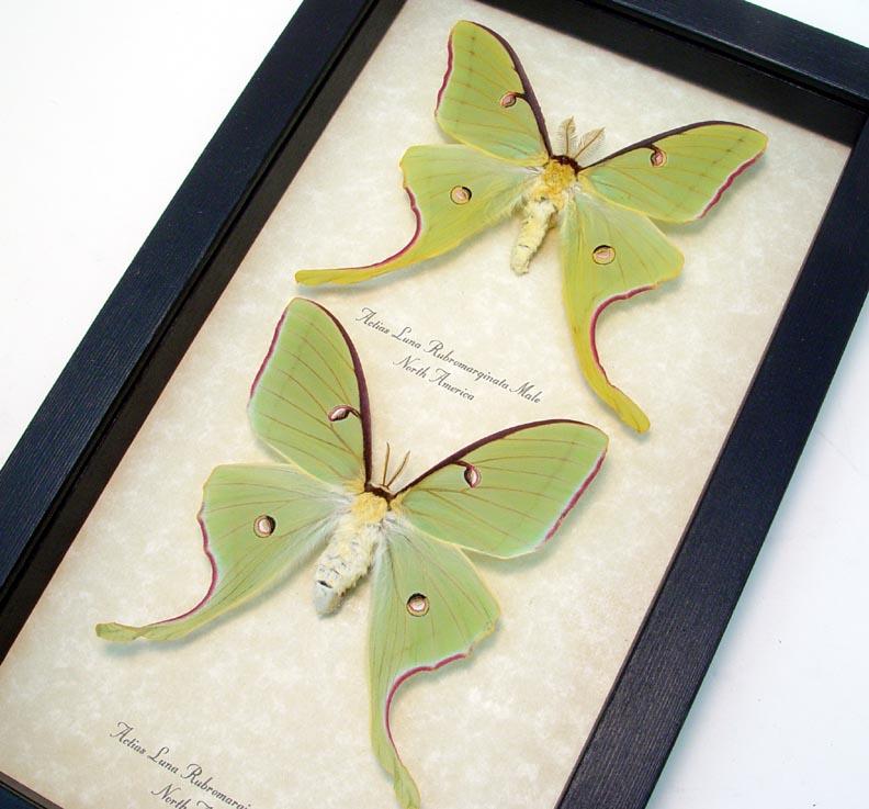 Actias luna rubromarginata Pair Spring Form Luna Moths