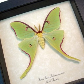 actias-luna-male-rubromarginata real framed moth by butterfly-designs