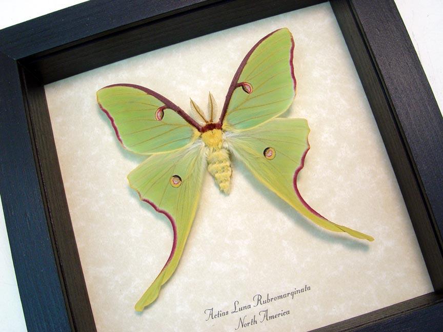 Actias luna rubromarginata Male Spring Form Luna Moth