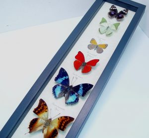 africa-butterfly-collection real framed butterflies