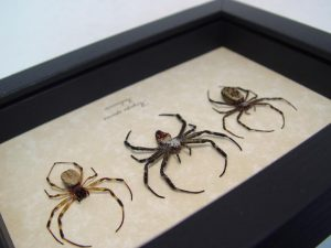 Argiope Species Spider Set