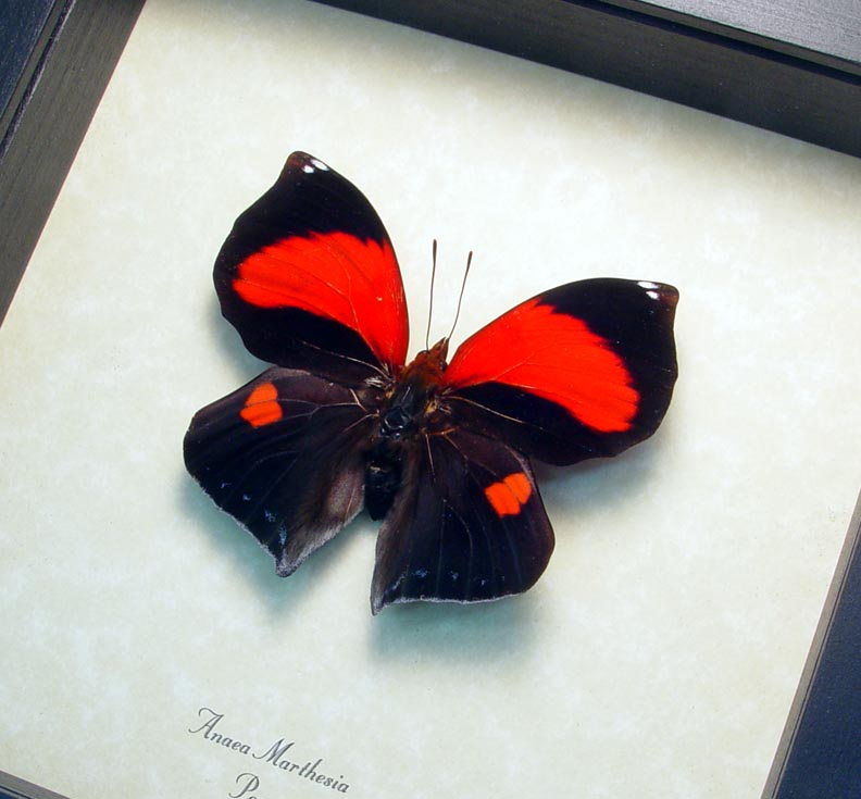 Anaea marthesia Red Heart Butterfly
