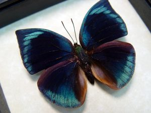 Anaea polyxo Blue Round Wing Butterfly