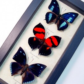 Anaea Butterfly Collection Blue Red Real Framed Butterflies by Butterfly-Designs