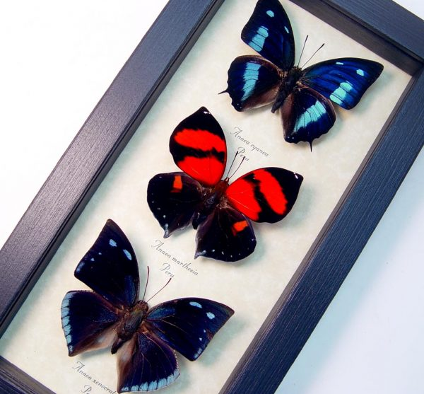 Anaea Butterfly Collection Blue Red Butterflies