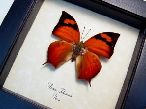 Anaea tehuana framed butterfly