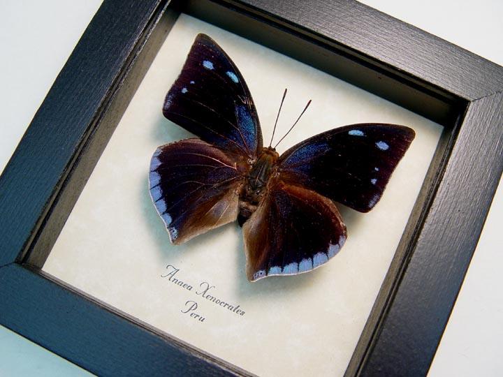 Anaea xenocrates Blue Teardrop Butterfly