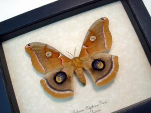 Antheraea polyphemus female Silkmoth