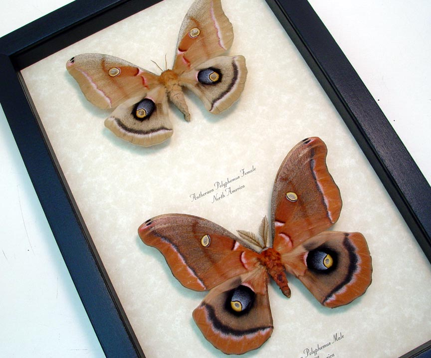 Antheraea polyphemus Pair Silkmoths Moths
