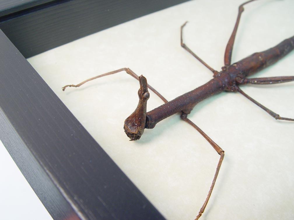 Apioscelis bulbosa Jumping Stick Grasshopper