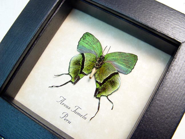 Arcas Tumela verso Swallowtail Real Framed Butterfly