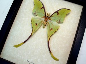 Argema Mimosae Male Moon Moth