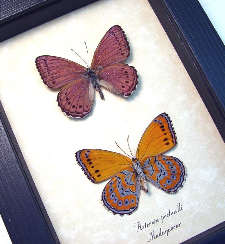 Asterope pechuelli Pair Lavender Orange Butterflies