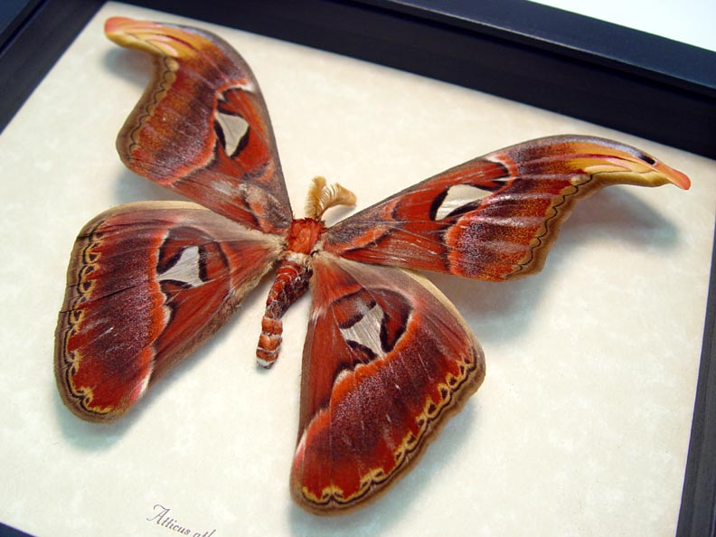Attacus Atlas Male Giant Moth Snake Head 5 1/2""