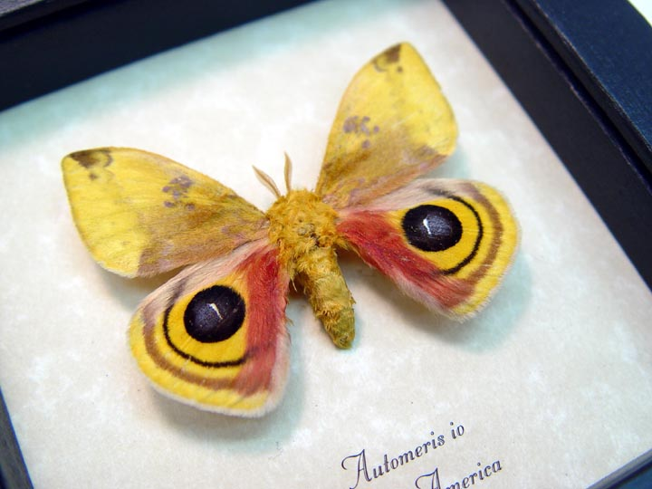 Automeris Io Silk Moth