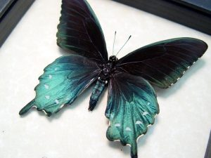 Battus Philenor Male Pipevine Swallowtail Butterfly