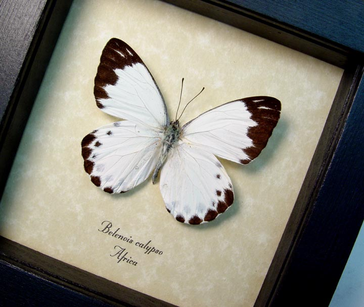 Belenois calypso Calypso White Butterfly