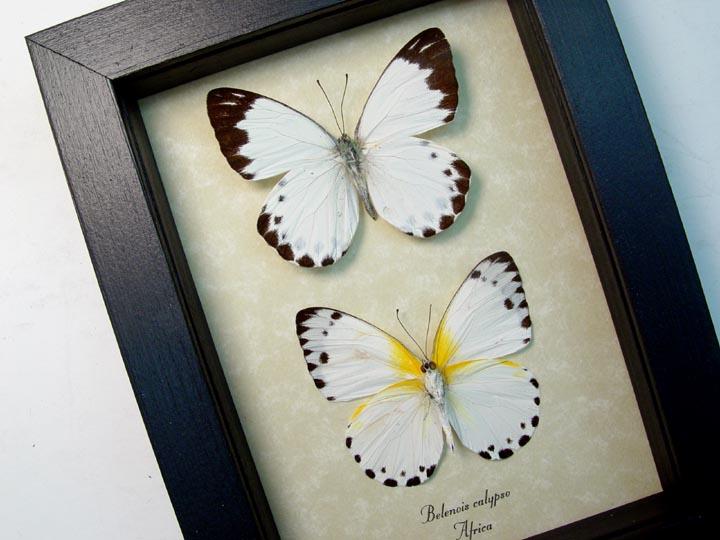 Belenois calypso Pair Calypso White Butterflies