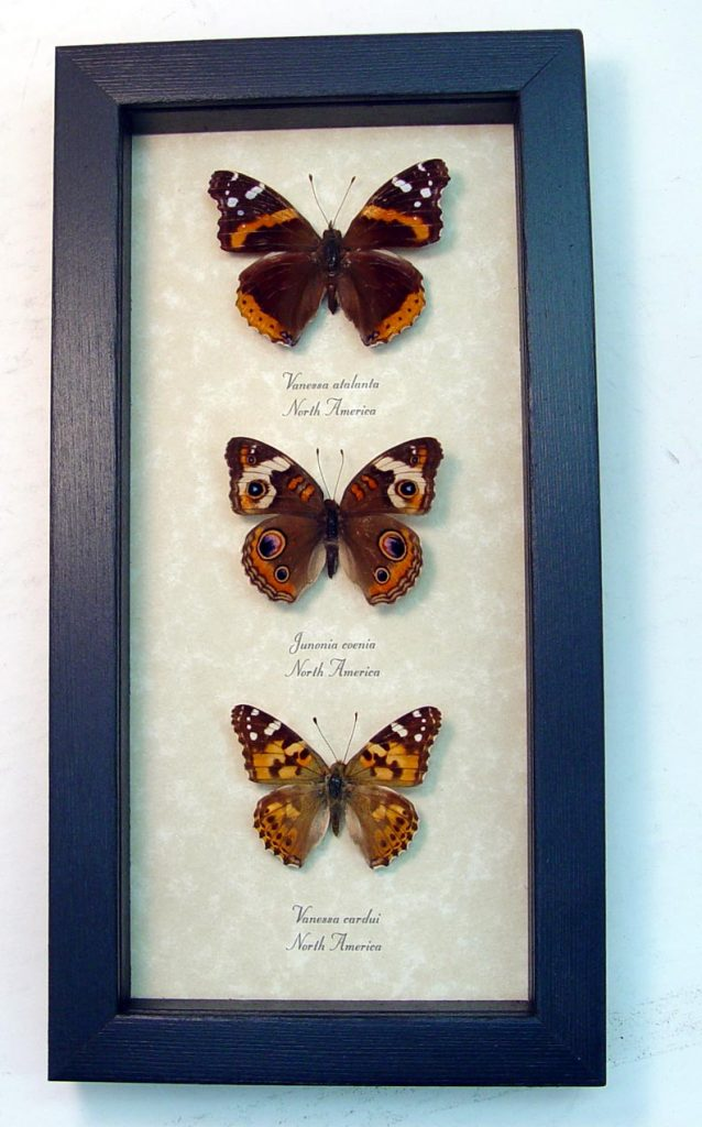 Brush-footed Butterfly Collection