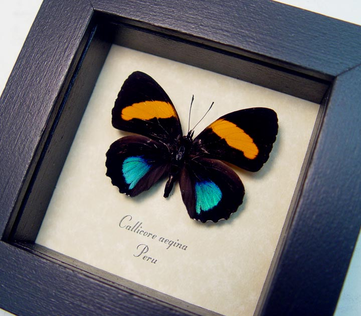 Callicore aegina Blue Orange Butterfly