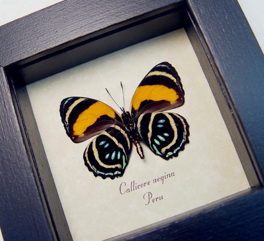 Callicore aegina Verso Blue Orange