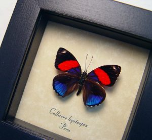 Callicore hystaspes Blue Red Butterfly