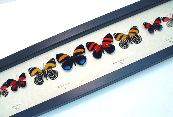 Callicore set Colorful Blue Orange Butterflies
