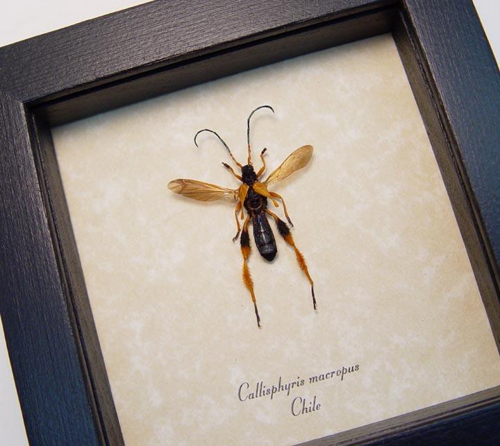 Wasp Mimic Longhorn Beetle Callisphyris macropus