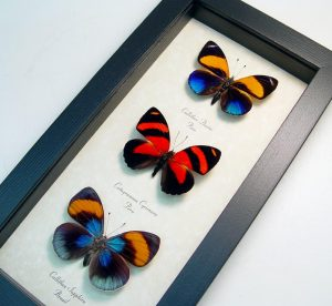 South American Butterfly Collection