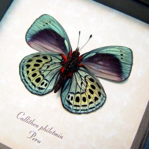 Darwin Butterfly Callithea-philotmia real framed by butterfly-designs framed butterfly art for sale