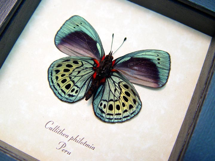 Charles Darwin Butterfly Callithea philotmia Verso