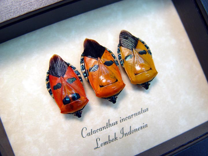 Catacanthus incarnatus Set 3 Man Face Beetles