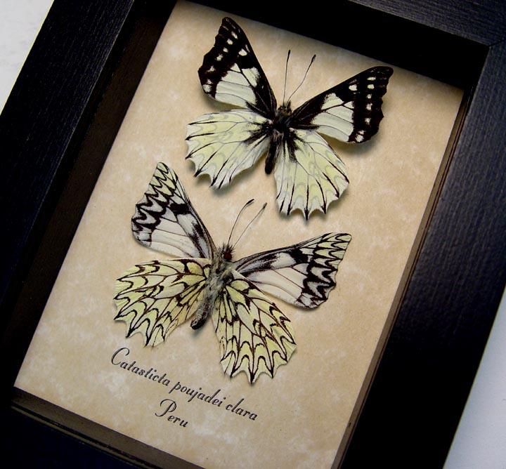 Catasticta poujadei clara Pair Dartwhite Butterflies