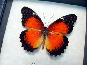 Cethosia biblis Red Lacewing Framed Butterfly