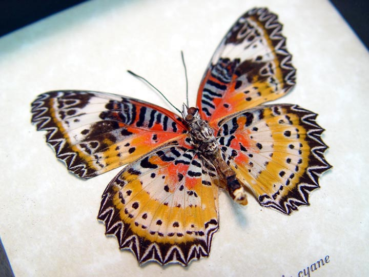 Cethosia cyane verso Leopard Lacewing Butterfly