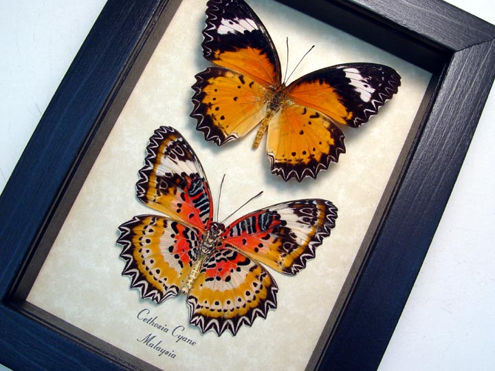 Cethosia cyane Set Leopard Lacewing Butterflies