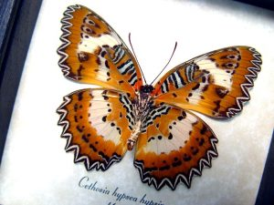 Cethosia hypsea hypsina Female Malay Lacewing Butterfly