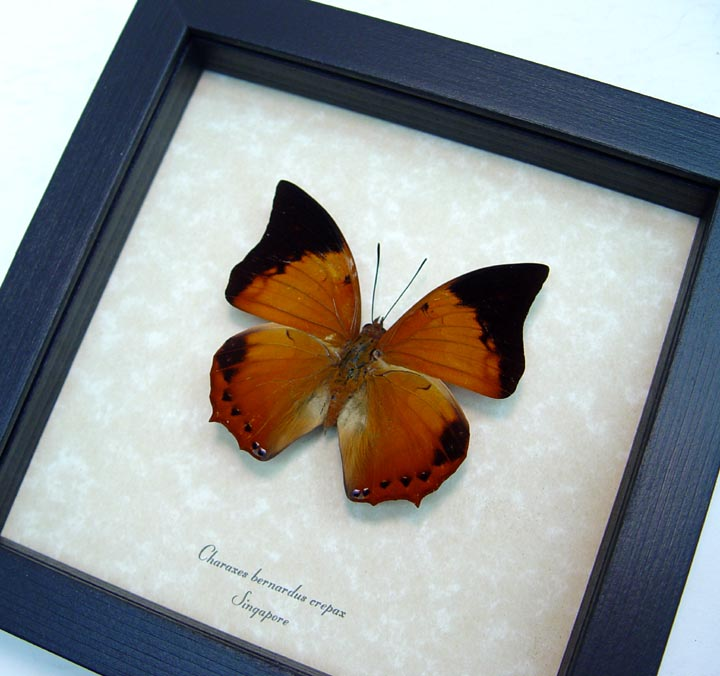 Charaxes bernardus crepax Tawny Rajah