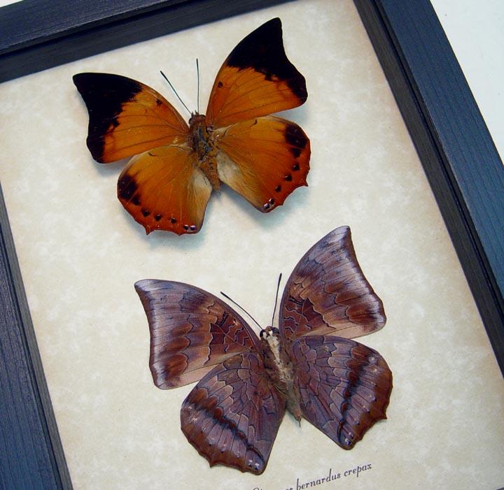 Charaxes bernardus crepax Set Tawny Rajah
