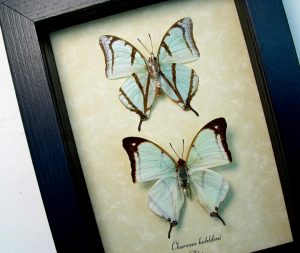 Charaxes kahldeni Pair Mint Green Butterflies