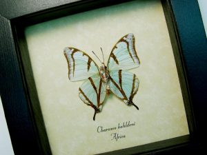 Charaxes kahldeni Verso Mint Green Butterflies