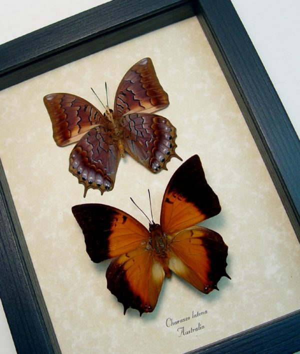 Charaxes latona set Orange Emperor