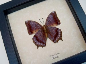 Charaxes latona Verso Orange Emperor