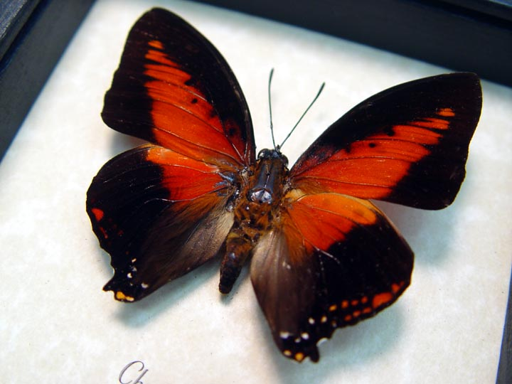 Charaxes zingha Red Butterfly
