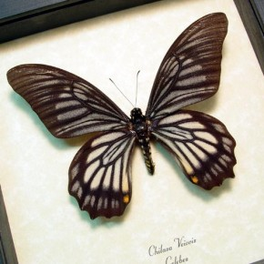 chilasa-veiovis Gothic Framed Butterfly-Displays & Insects by Butterfly-Designs